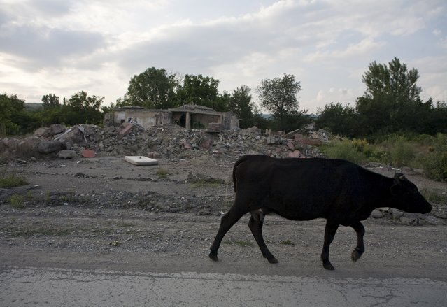 A cow walks past the ruins of a building in the abandoned village of Awnew (Avnevi) near Tskhinvali, the capital of the breakaway region of South Ossetia, Georgia, July 4, 2015. (Photo by Kazbek Basaev/Reuters)