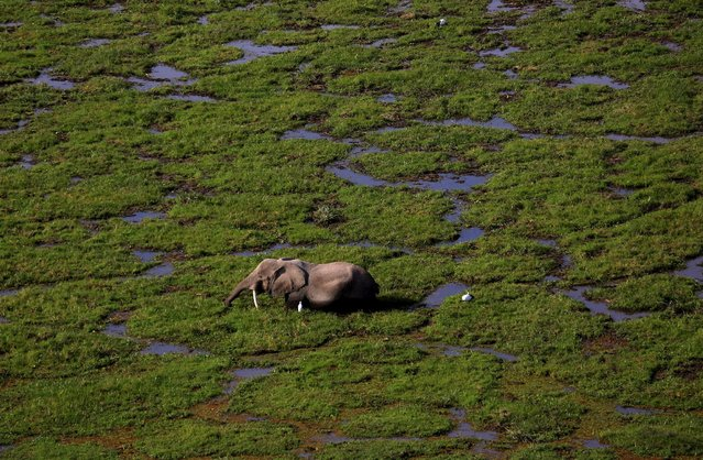 An elephant walks through a swamp in Amboseli National park, Kenya, August 8, 2015. (Photo by Goran Tomasevic/Reuters)