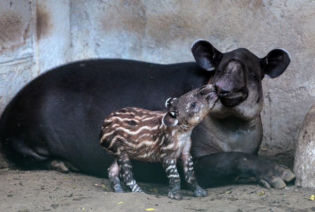 Valentina, a three-day-old tapir born in captivity and considered an endangered species in Central America, is seen near her mother at the National Zoo in Managua, Nicaragua, February 12, 2020. (Photo by Oswaldo Rivas/Reuters)