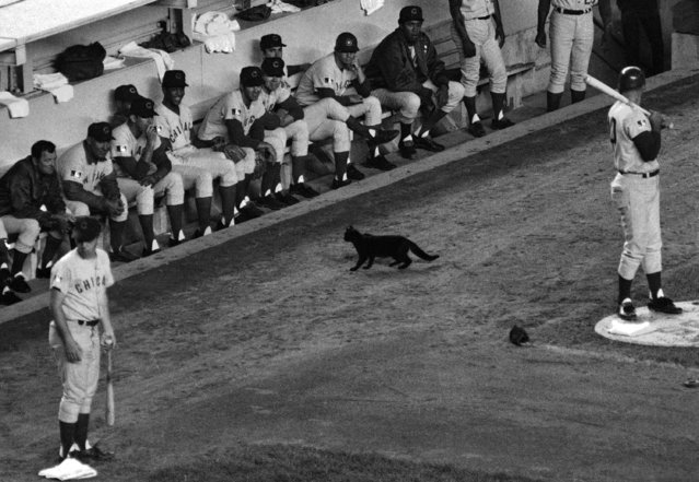 The Chicago Cub's bench chuckled (with the rest of Shea stadium) when that traditional omen of bad luck, a black cat, wandered in front of their dugout during the first inning of game against the New York Mets in New York on September 9, 1969. The more superstitious Cubs were right the Mets won 7-4. (Photo by Dave Pickoff/AP Photo)