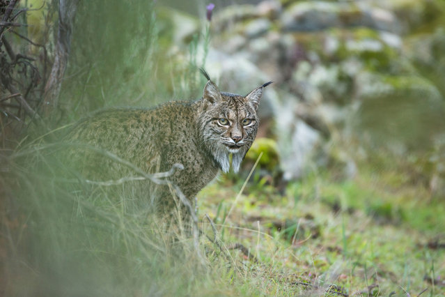 Glimpse of a lynx by Laura Albiac Vilas (Spain). Laura travelled to the Sierra de Andújar natural park in Spain in search of the lynx and struck lucky on her second day – a pair were relaxing not far from the road. Finalist 2017, Young Wildlife Photographer of the Year, 11-14 Years. (Photo by  Laura Albiac Vilas/2017 Wildlife Photographer of the Year)