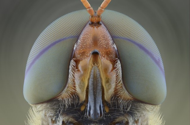 A close-up shot of a soldier fly on August 2014, in Banten, Indonesia.  Wildlife photographer takes incredible close-up images of tiny bugs. Yudy Sauw has captured close-up images of creepy crawlies – revealing their disturbing faces. The insects have an assortment bulging eyes and sharp pincers and look grotesque in the face-to-face shots. The miniature-models include a soldier fly, a red ant and a longhorn beetle. (Photo by Yudy Sauw/Barcroft Media)