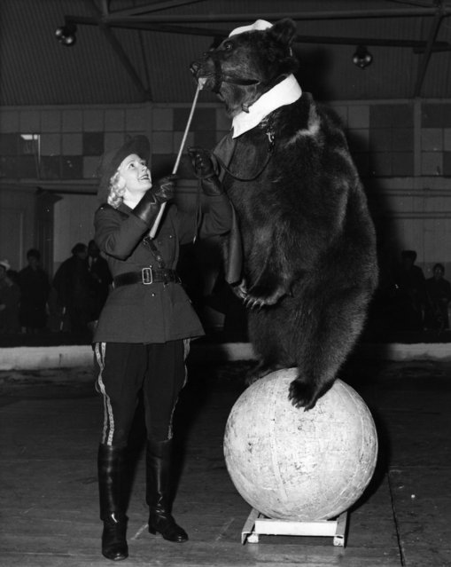 Joan Kruse, stands with a Canadian Brown Bear balancing on a ball. She joined the circus at the age of 16 as an usherette. She is married to Gosta Kruse, who is Bertram Mills elephant trainer. 27th November 1961.