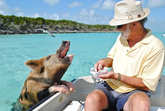 """So you're on a boat in Bahamas and then this pig swims by begging for food"". (Photo and caption by Lisa Larsen/Public Domain)"