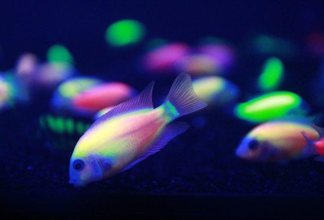 Genetically-engineered fish (Amatitlania nigrofasciatus var.) glow in a tank during the 2014 Taiwan Aquarium Expo in Taipei September 12, 2014. The 2014 Taiwan Aquarium Expo runs from September 12-15 at the Taipei World Trade Center Nangang Exhibition Hall. (Photo by Pichi Chuang/Reuters)
