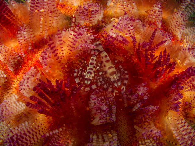 """Winner, Under-18: """"Small critters moving on a fire urchin – Coleman on Fire"""" by Dheeraj Nanda (Ambon, Maluku, Indonesia). """"The coleman shrimp and fire urchin here share a symbiotic relationship where the shrimp seeks refuge among the spines of the urchin – the female is larger than the male."""". (Photo by Dheeraj Nanda/2017 Royal Society of Biology Photographer of the Year)"""