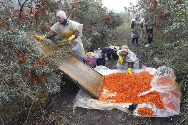 People pick berries at a sea-buckthorn plantation in the western Siberian city of Barnaul, September 17, 2014. Pickers get 15 roubles (40 U.S. cents) per kilogram, according to local residents. (Photo by Andrei Kasprishin/Reuters)