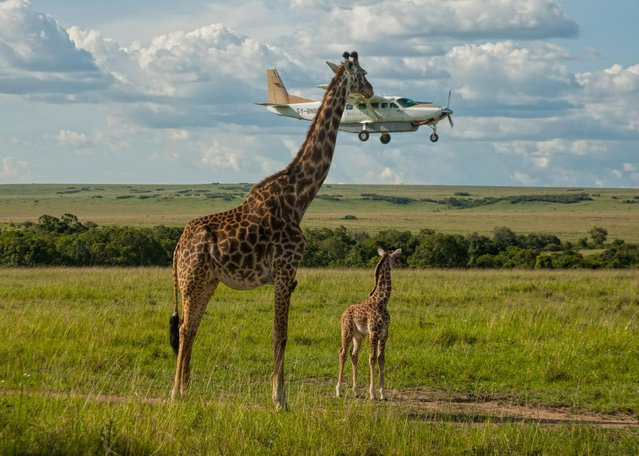 "A giraffe checks plane safety in Graeme Guy's ""Outsourcing Seatbelt Checks"" on November 17, 2008 in Masai Mara, Kenya. (Photo by Graeme Guy/Comedy Wildlife Photography Awards/Barcroft Media)"