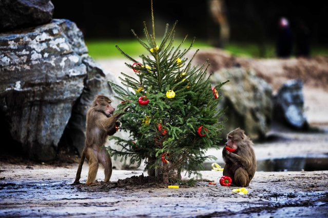 Hamadryas baboon (Papio hamadryas) eat food at the Safaripark Beekse Bergen in Hilvarenbeek, the Netherlands, 26 December 2012. During the Christmas days the animals received an extra Christmas meal. (Photo by Robin Utrecht/EPA)