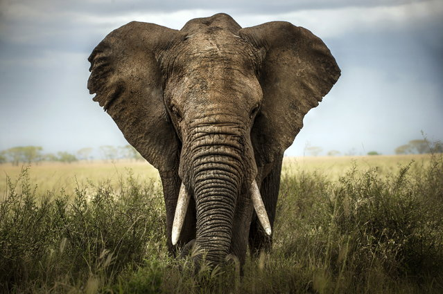 """""""Encounters in Serengeti"""". A big elephant stright in front of me. Photo location: Serengeti, Tanzania. (Photo and caption by Alberto Ghizzi Panizza/National Geographic Photo Contest)"""