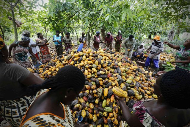 Women from a local cocoa farmers association called BLAYEYA work in a cocoa farm in Djangobo, Niable in eastern Ivory Coast, November 17, 2014. BLAYEYA is a women's only association with each member owning a field and planting cocoa. (Photo by Thierry Gouegnon/Reuters)