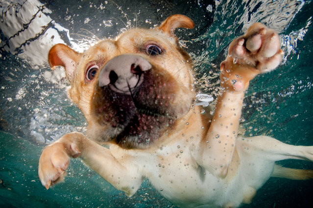 A swiming Golden Labrador searches for a ball. (Photo by Jonny Simpson-Lee/Caters News Agency)