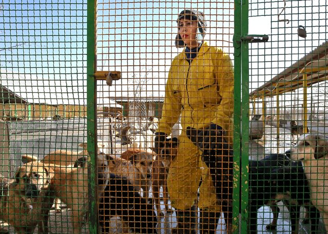 In this Friday, December 5, 2014 photo, Iranian volunteer Rana Ashoug stands inside a cage with dogs at the Vafa Animal Shelter in the city of Hashtgerd 43 miles (73 kilometers) west of the capital Tehran, Iran. (Photo by Vahid Salemi/AP Photo)