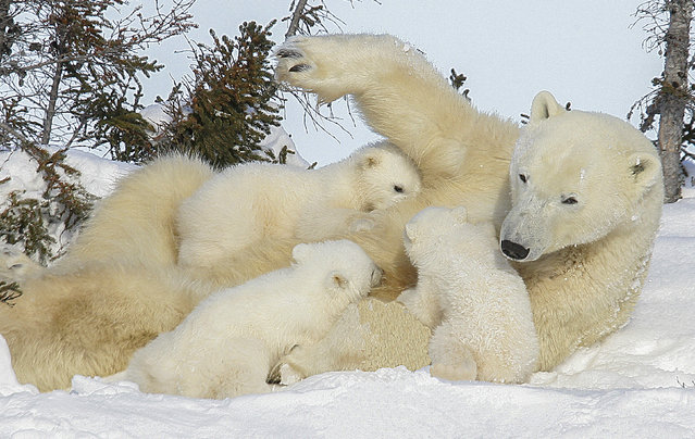 Rarely seen polar bear with three cubs. (Photo by David Jenkins/Caters News)