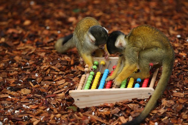 Bolivian Squirrel Monkeys play with an abacus during the ZSL London Zoo's annual stocktake of animals on January 5, 2015 in London, England. (Photo by Dan Kitwood/Getty Images)