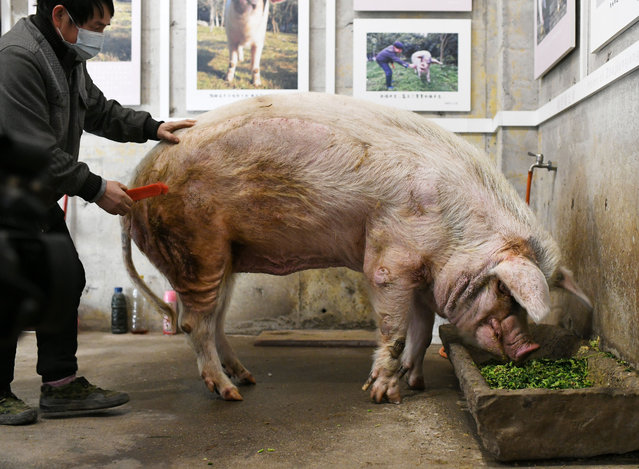 """Zhu Jianqiang, or """"strong-willed pig"""", famous for surviving more than a month buried in the ruins after the magnitude-8.0 Wenchuan earthquake in 2008, feeds on food sent by admirers wishing it a safe winter in Jianchuan Museum, Chengdu city, southwest China's Sichuan province, 11 January 2021. (Photo by Rex Features/Shutterstock)"""