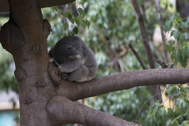A koala sleeps on a tree branch in its enclosure at the zoo in Los Angeles, California January 28, 2015.  Picture taken January 28, 2015. (Photo by Mario Anzuoni/Reuters)