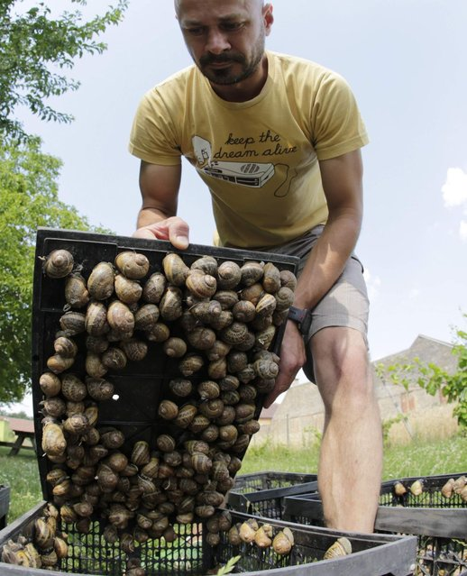 Austrian snail farmer Andreas Gugumuck collects snails (Helix Aspersa) in baskets in his farm in Vienna July 10, 2013. Andreas Gugumuck owns Vienna's largest snail farm, exporting snails, snail-caviar and snail-liver all over the world. The gourmet snails are processed using old traditional cooking techniques and some are sold locally to Austrian gourmet restaurants. (Photo by Leonhard Foeger/Reuters)