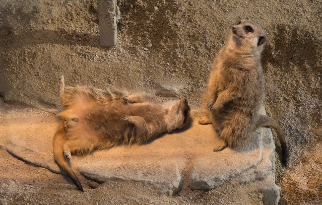 Meerkats warm up in their enclosure in the zoo Wilhelma in Stuittgart, southern Germany, on February 3, 2015.  Meerkats live in all parts of the Kalahari Desert in Botswana, in much of the Namib Desert in Namibia, southwestern Angola and in South Africa. (Photo by Marijan Murat/AFP Photo/DPA)