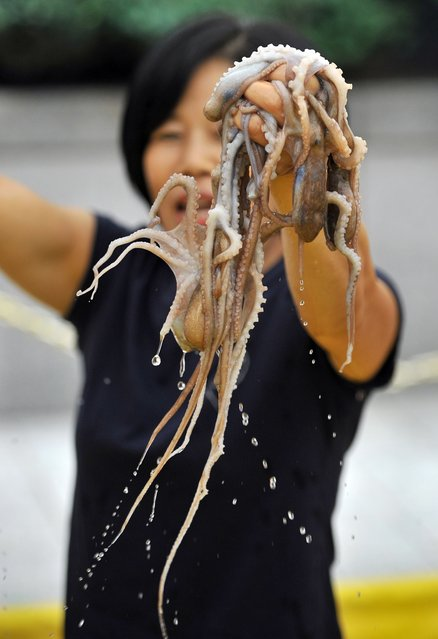 A South Korean woman hold up live octopus during an event to promote a local food festival in Seoul on September 12, 2013. South Korea's Supreme Court upheld on September 12 the acquittal of a 32-year-old man sentenced to life imprisonment for murdering his girlfriend who he claimed choked to death on a live octopus. (Photo by Jung Yeon-Je/AFP Photo)