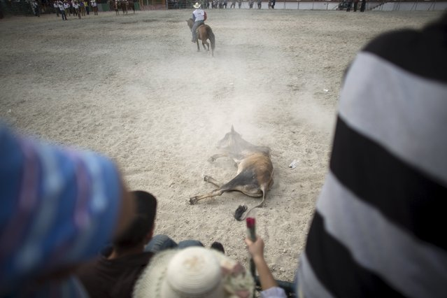 A cow falls in front of the public during a rodeo show at the International Livestock Fair in Havana March 21, 2015. (Photo by Alexandre Meneghini/Reuters)