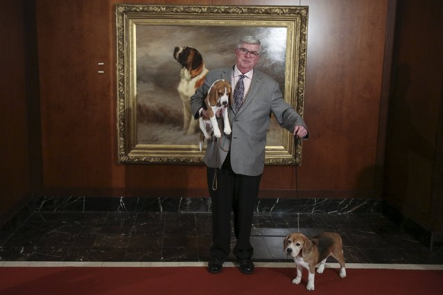 A man poses with beagles following a press event for the American Kennel Club to reveal the nations most popular dog breeds in the Manhattan borough of New York, February 22, 2016. (Photo by Carlo Allegri/Reuters)