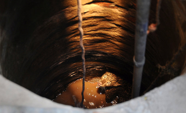 A leopard trapped in a well looks up to forest officials on the premises of the Kamakhya temple in Gauhati, India, on April 4, 2013. The animal was later tranquilized and rescued. (Photo by Anupam Nath/AP Photo)