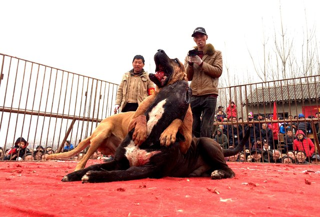 People watch as dogs fights during a local dog fighting event in Yuncheng, Shanxi Province, China, February 21, 2016. (Photo by Reuters/Stringer)
