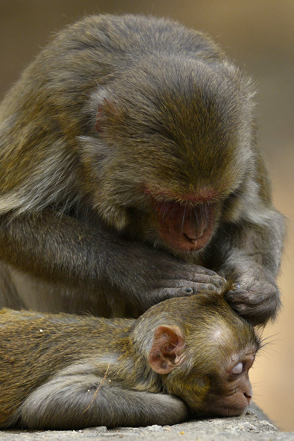 A mother monkey looks for insects in her baby's head on the occasion of World Wildlife Day celebration in zoological park, Guwahati, Assam state, India, March 3, 2016. (Photo by EPA/Stringer)
