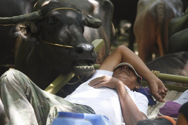 A farmer rests near his carabao before the start of the annual Carabao Festival in Pulilan, Bulacan in northern Philippines May 14, 2015. (Photo by Lorgina Minguito/Reuters)