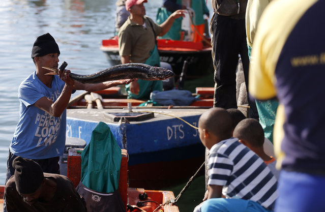 In this photo taken on Saturday, May 16, 2015, snoek fish is offloaded from a boat for cleaning in Lambert's Bay, South Africa. The boats line up along the jetty, bobbing in the cold south Atlantic waters, bringing in the day's catch in the early afternoon. The long silver snoek fish is one of South Africa's traditional foods, and a main source of income for the town of Lambert's Bay. (Photo by Schalk van Zuydam/AP Photo)