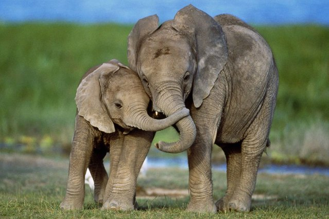 Two elephants are also pictured sharing a tender moment with their trunks linked together in Amboseli National Park, Kenya. (Photo by Ferrero Labat/Ardea Wildlife Pets Environment/Caters News)