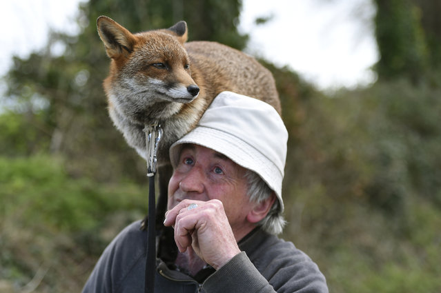 Patsy Gibbons takes his two rescue foxes, Grainne and Minnie (unseen), for a walk in Kilkenny, Ireland April 25, 2016. (Photo by Clodagh Kilcoyne/Reuters)
