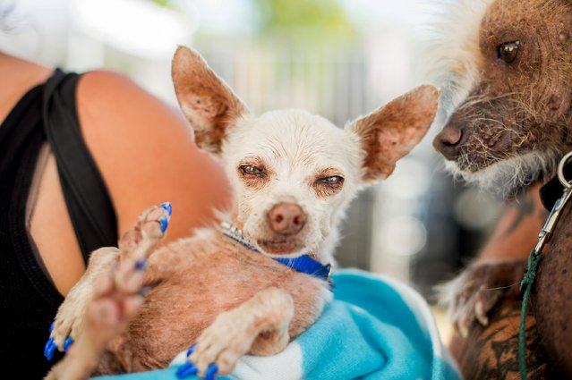 Pork, a 13-year-old Chihuahua, gets some unwanted attention from a rival in the World's Ugliest Dog Contest at the Sonoma-Marin Fair on Friday, June 26, 2015, in Petaluma, Calif. (Photo by Noah Berger/AP Photo)