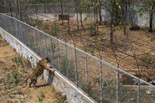 Tigers in outdoor pens where they are sometimes kept at Tiger Temple, a Buddhist monastery where paying visitors can interact with young adult tigers, in Kanchanaburi, Thailand, March 16, 2016. Only tigers under age 4 – there are 16 of them now – are brought out for tourists. Larger tigers are retired to cages. (Photo by Amanda Mustard/The New York Times)