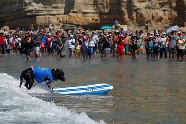 "A dog rides his board all the way to the beach as he competes in the 14th annual Helen Woodward Animal Center ""Surf-A-Thon"" where more than 70 dogs competed in five different weight classes for ""Top Surf Dog 2019"" in Del Mar, California, U.S., September 8, 2019. (Photo by Mike Blake/Reuters)"