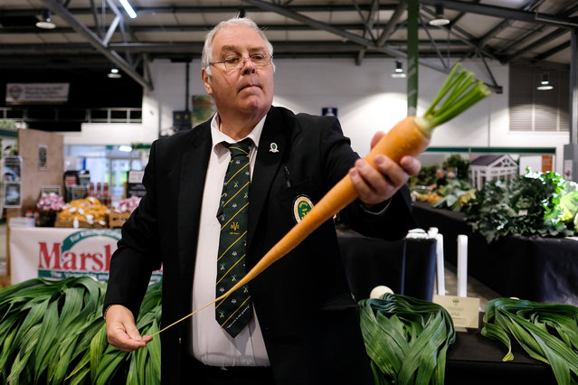 A judge inspects a carrot during judging for the giant vegetable competition at the Harrogate Autumn Flower Show on September 13, 2019 in Harrogate, England. (Photo by Ian Forsyth/Getty Images)