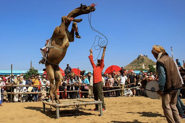 "A camel performs during a ""dance competition"" held during the Pushkar Camel Fair in Pushkar, in the western state of Rajasthan, on November 5, 2019. Thousands of livestock traders from the region come to the traditional camel fair where livestock, mainly camels, are traded. The annual camel and livestock fair is one of the world's largest camel fairs. (Photo by Himanshu Sharma/AFP Photo)"