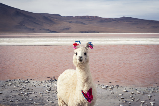 """""""Stylish llama"""". At 14,000ft in icy winds this llama was completely at home. It was a different world for me. I'd like to think that we shared a moment. Photo location: Laguna Colorado, Bolivia. (Photo and caption by Esther Buttery/National Geographic Photo Contest)"""