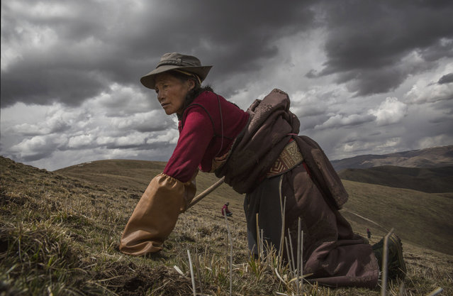 A Tibetan nomad woman crawls on her knees while harvesting cordycep fungus at high altitude on May 20, 2016 near Sershul on the Tibetan Plateau in the Garze Tibetan Autonomous Prefecture of Sichuan province. (Photo by Kevin Frayer/Getty Images)