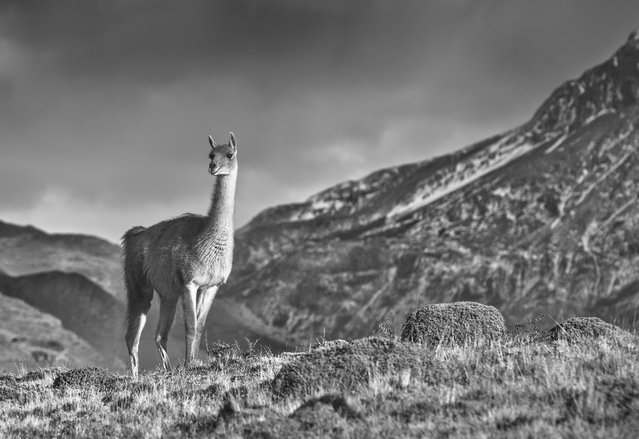 """""""Guanaco on a Ridge"""". An extremely unwary guanaco seemingly poses for a photograph atop a ridge in Patagonia's Torres del Paine National Park. Photo location: Torres del Paine National Park, Patagonia, Chile. (Photo and caption by Arti Panchal/National Geographic Photo Contest)"""