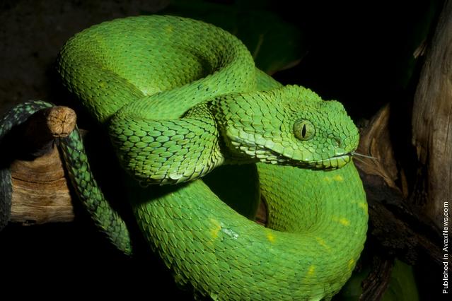 Atheris chlorechis