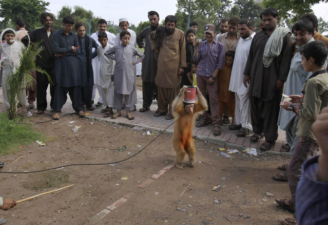 A monkey performs in front of people at a park in Rawalpindi, Pakistan, Tuesday, July 21, 2015. (Photo by Anjum Naveed/AP Photo)