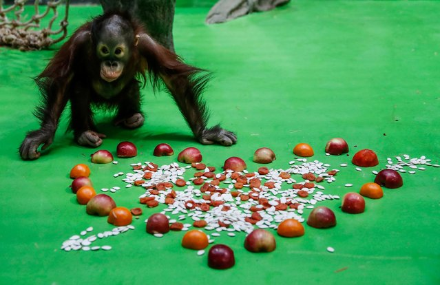 A baby orangutan approaches a treat on Valentine's Day at the Moscow Zoo in the capital Moscow, Russia February 14, 2020. (Photo by Maxim Shemetov/Reuters)