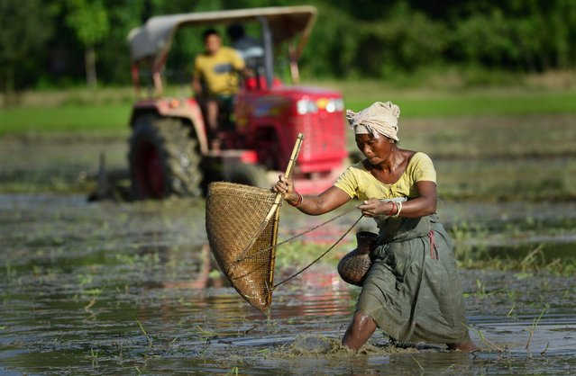 A Rabha tribal woman catches fish as a man prepares his agricultural field with a tractor in Krishnai, about 120 km from Guwahati city, India, 28 July 2014. Due to late monsoon this year, whole agricultural activities have got delayed by at least one month in northeast India. (Photo by EPA/STR)