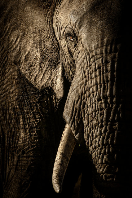 The power of the matriarch by David Lloyd (New Zealand/UK). In Kenya's Maasai Mara national reserve, a herd of elephants trekked to their evening waterhole. The mellow light from the fast-setting sun emphasised every wrinkle and hair. The female leading the herd looked straight at the photographer, her eye a glowing amber dot in the heavy folds of skin. Her gaze was full of respect and intelligence. Finalist 2017, Animal Portraits. (Photo by  David Lloyd/2017 Wildlife Photographer of the Year)