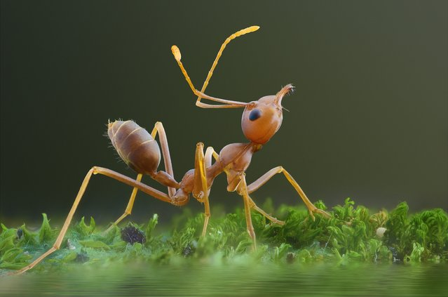 A close-up shot of a red ant on August 2014, in Banten, Indonesia.  Wildlife photographer takes incredible close-up images of tiny bugs. Yudy Sauw has captured close-up images of creepy crawlies – revealing their disturbing faces. The insects have an assortment bulging eyes and sharp pincers and look grotesque in the face-to-face shots. The miniature-models include a soldier fly, a red ant and a longhorn beetle. (Photo by Yudy Sauw/Barcroft Media)