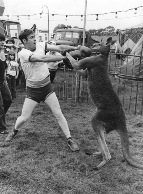 UK radio 1 disc jockey, Paul Gambaccini, takes on a boxing kangaroo at Eastbourne circus. 15th August 1980.