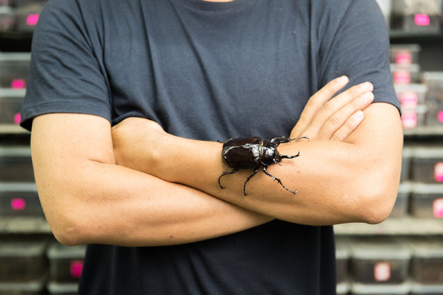 Li Huajun, 29, with an Atlas beetle (Chalcosoma atlas) in a store at Beijing's Guanyuan pet market. The species is found in southern Asia, notably in Malaysia and Indonesia. Li is particularly interested in collecting spiders and has more than 2,000 in his home. (Photo by Sean Gallagher/The Guardian)