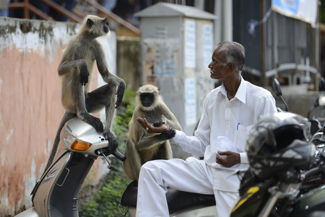 An Indian man feeds peanuts to monkeys along a busy street in Ahmedabad on July 31, 2016. Feeding animals is sacred in Hindu society. (Photo by Sam Panthaky/AFP Photo)